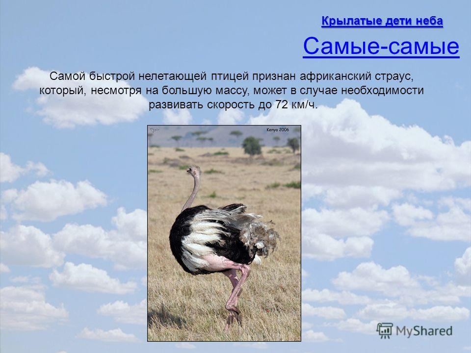 Самой быстрой нелетающей птицей признан африканский страус, который, несмотря на большую массу, может в случае необходимости развивать скорость до 72 км/ч. Самые-самые Крылатые дети неба Крылатые дети неба
