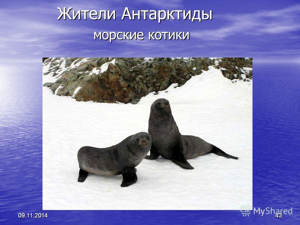 09.11.201443 Жители Антарктиды морские котики Жители Антарктиды морские котики