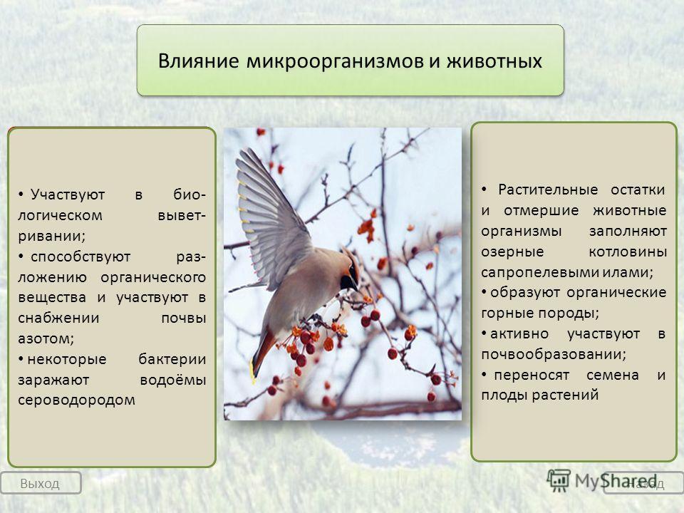 Выход Назад микроорганизмы животные Влияние микроорганизмов и животных Участвуют в био- логическом вывет- ривании; способствуют раз- ложению органического вещества и участвуют в снабжении почвы азотом; некоторые бактерии заражают водоёмы сероводородо