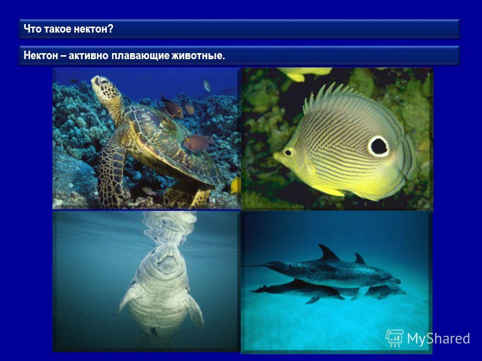 Что такое нектон? Нектон – активно плавающие животные.