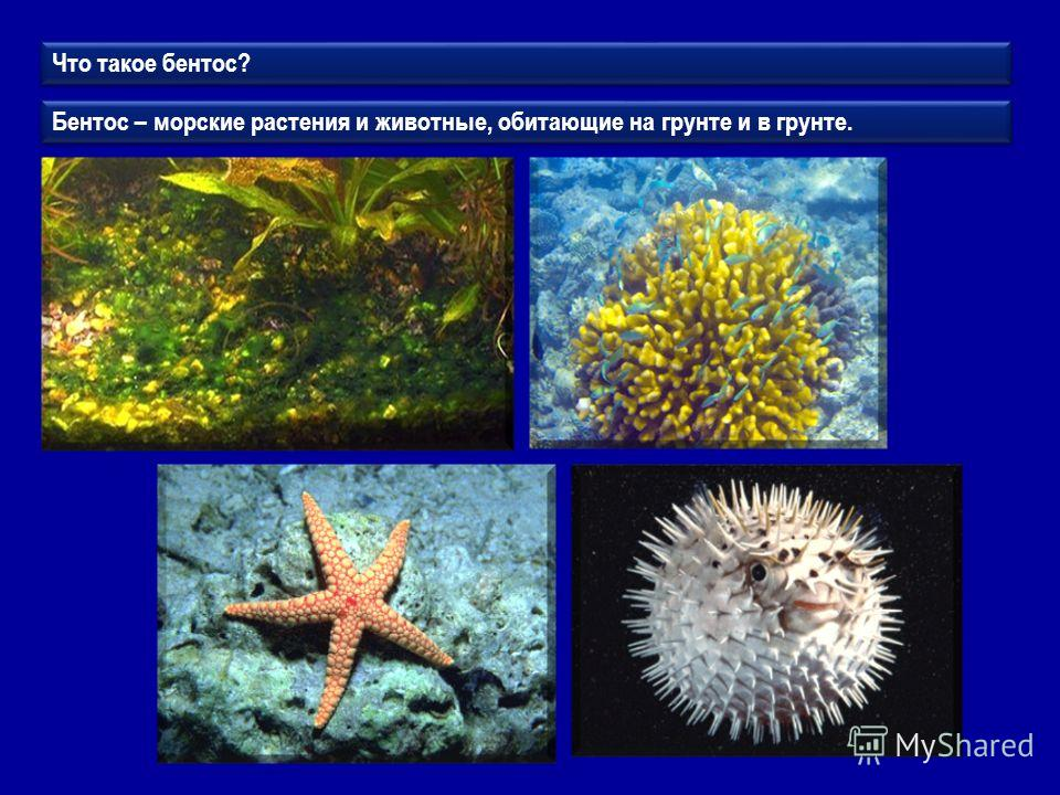 Что такое бентос? Бентос – морские растения и животные, обитающие на грунте и в грунте.