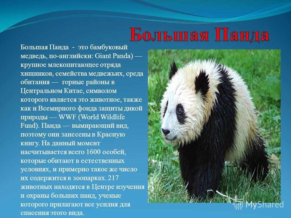 Большая Панда - это бамбуковый медведь, по-английски: Giant Panda) крупное млекопитающее отряда хищников, семейства медвежьих, среда обитания горные районы в Центральном Китае, символом которого является это животное, также как и Всемирного фонда защ