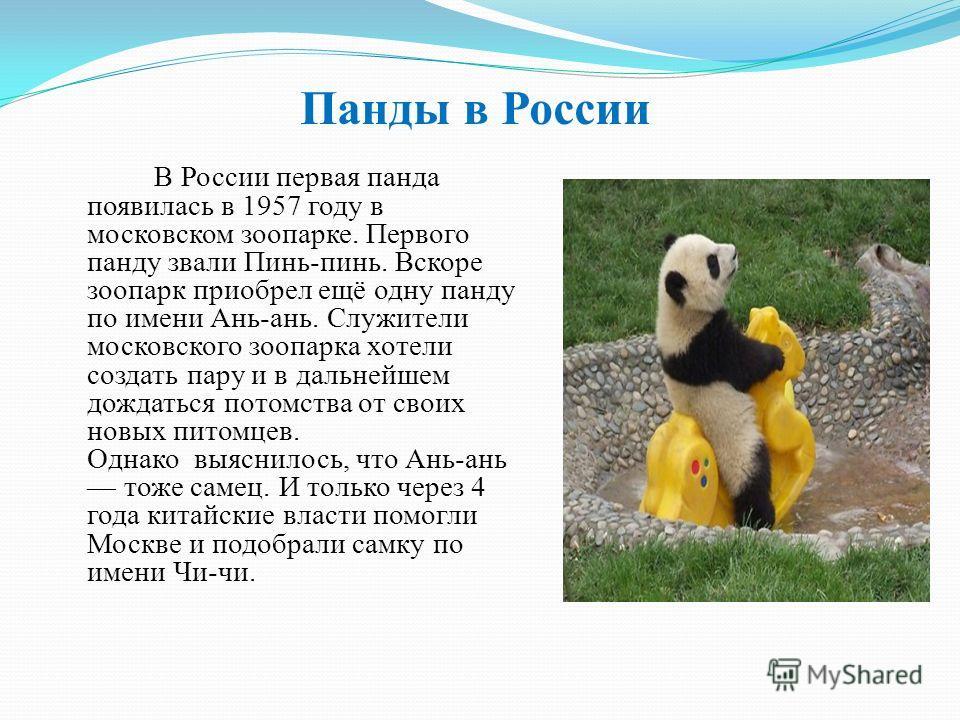 Панды в России В России первая панда появилась в 1957 году в московском зоопарке. Первого панду звали Пинь-пинь. Вскоре зоопарк приобрел ещё одну панду по имени Ань-ань. Служители московского зоопарка хотели создать пару и в дальнейшем дождаться пото