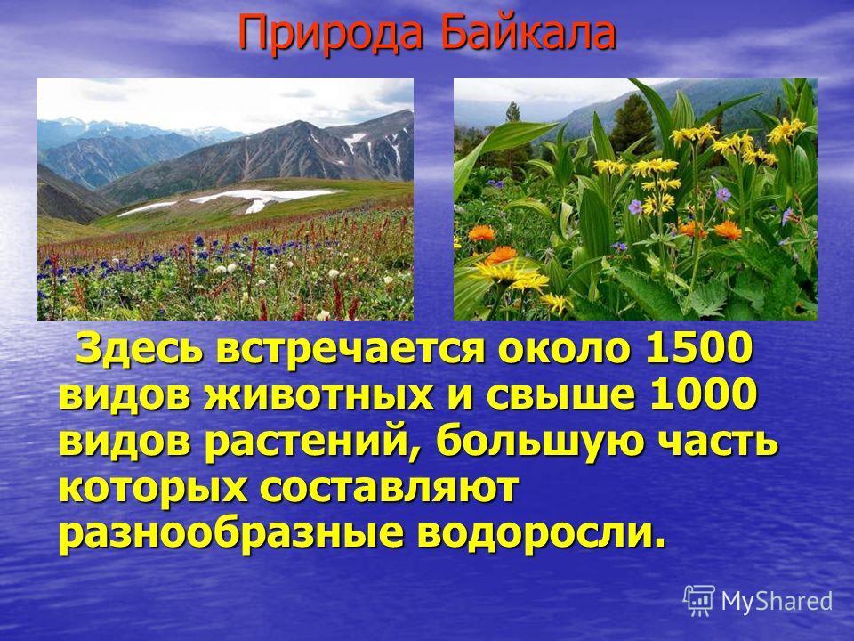 Природа Байкала Здесь встречается около 1500 видов животных и свыше 1000 видов растений, большую часть которых составляют разнообразные водоросли. Здесь встречается около 1500 видов животных и свыше 1000 видов растений, большую часть которых составля