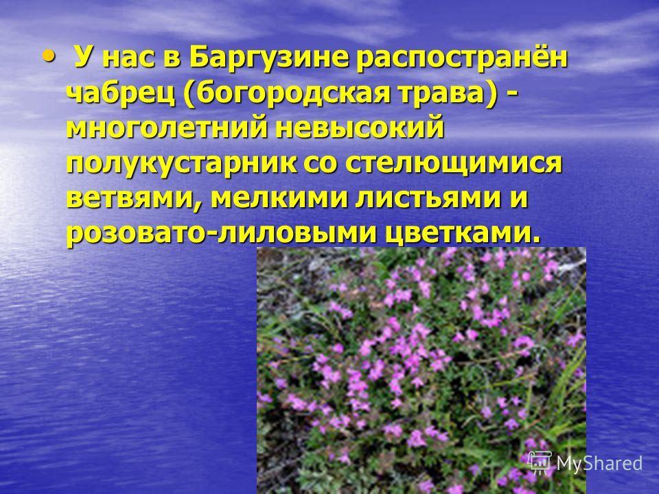 У нас в Баргузине распостранён чабрец (богородская трава) - многолетний невысокий полукустарник со стелющимися ветвями, мелкими листьями и розовато-лиловыми цветками. У нас в Баргузине распостранён чабрец (богородская трава) - многолетний невысокий п