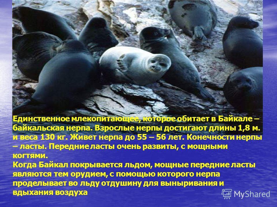 Единственное млекопитающее, которое обитает в Байкале – байкальская нерпа. Взрослые нерпы достигают длины 1,8 м. и веса 130 кг. Живет нерпа до 55 – 56 лет. Конечности нерпы – ласты. Передние ласты очень развиты, с мощными когтями. Когда Байкал покрыв