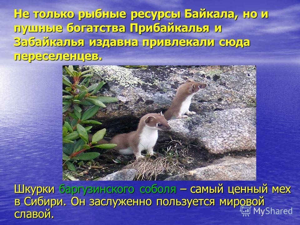 Не только рыбные ресурсы Байкала, но и пушные богатства Прибайкалья и Забайкалья издавна привлекали сюда переселенцев. Шкурки баргузинского соболя – самый ценный мех в Сибири. Он заслуженно пользуется мировой славой. Шкурки баргузинского соболя – сам