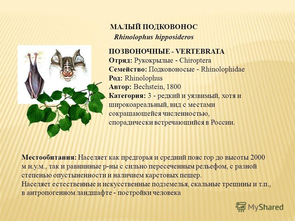МАЛЫЙ ПОДКОВОНОС Rhinolophus hipposideros ПОЗВОНОЧНЫЕ - VERTEBRATA Отряд: Рукокрылые - Chiroptera Семейство: Подковоносые - Rhinolophidae Род: Rhinolophus Автор: Bechstein, 1800 Категория: 3 - редкий и уязвимый, хотя и широкоареальный, вид с местами