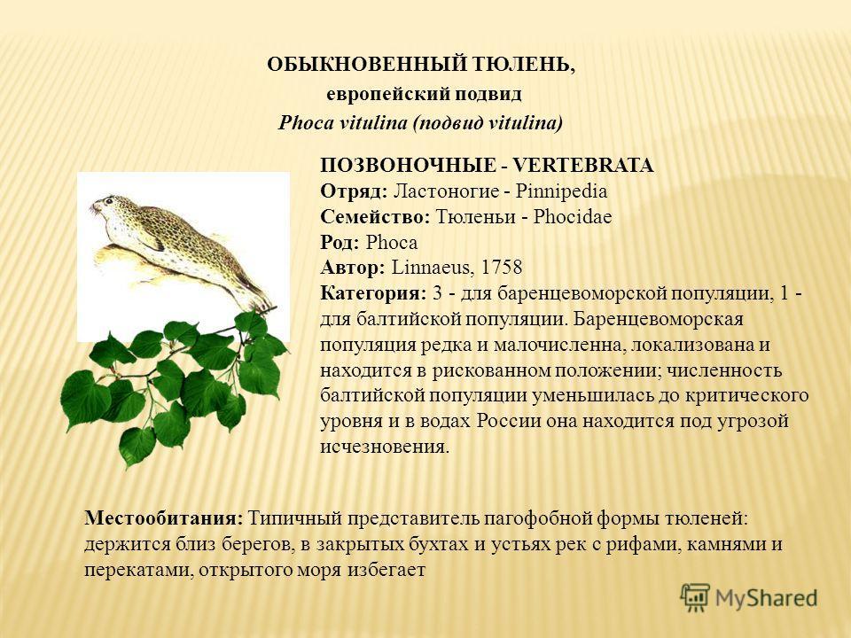 ОБЫКНОВЕННЫЙ ТЮЛЕНЬ, европейский подвид Phoca vitulina (подвид vitulina) ПОЗВОНОЧНЫЕ - VERTEBRATA Отряд: Ластоногие - Pinnipedia Семейство: Тюленьи - Phocidae Род: Phoca Автор: Linnaeus, 1758 Категория: 3 - для баренцевоморской популяции, 1 - для бал