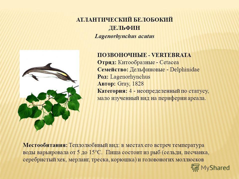АТЛАНТИЧЕСКИЙ БЕЛОБОКИЙ ДЕЛЬФИН Lagenorhynchus acutus ПОЗВОНОЧНЫЕ - VERTEBRATA Отряд: Китообразные - Cetacea Семейство: Дельфиновые - Delphinidae Род: Lagenorhynchus Автор: Gray, 1828 Категория: 4 - неопределенный по статусу, мало изученный вид на пе