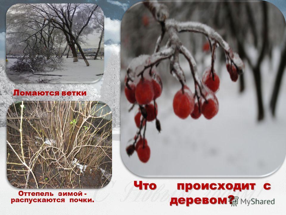 Оттепель зимой - распускаются почки. Что происходит с деревом? Ломаются ветки