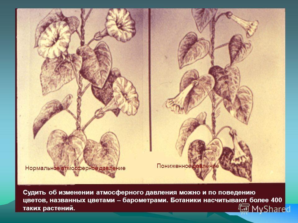 Нормальное атмосферное давление Пониженное давление Судить об изменении атмосферного давления можно и по поведению цветов, названных цветами – барометрами. Ботаники насчитывают более 400 таких растений.