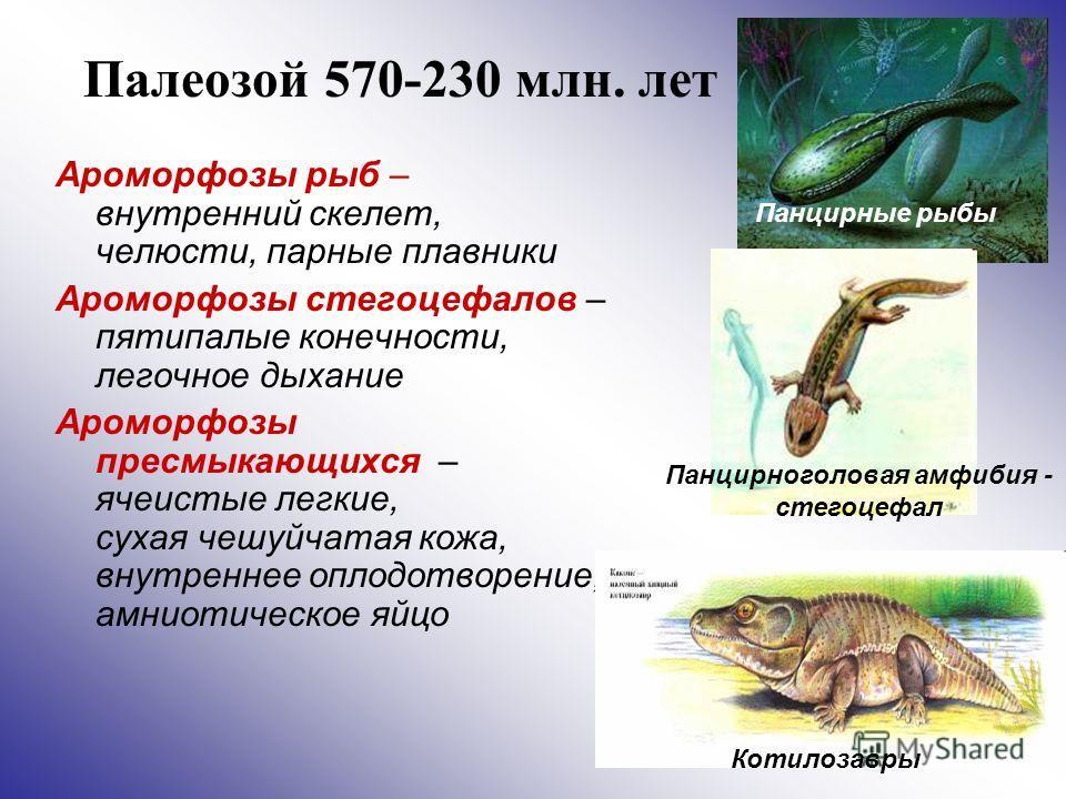 Палеозой 570-230 млн. лет Ароморфозы рыб – внутренний скелет, челюсти, парные плавники Ароморфозы стегоцефалов – пятипалые конечности, легочное дыхание Ароморфозы пресмыкающихся – ячеистые легкие, сухая чешуйчатая кожа, внутреннее оплодотворение, амн