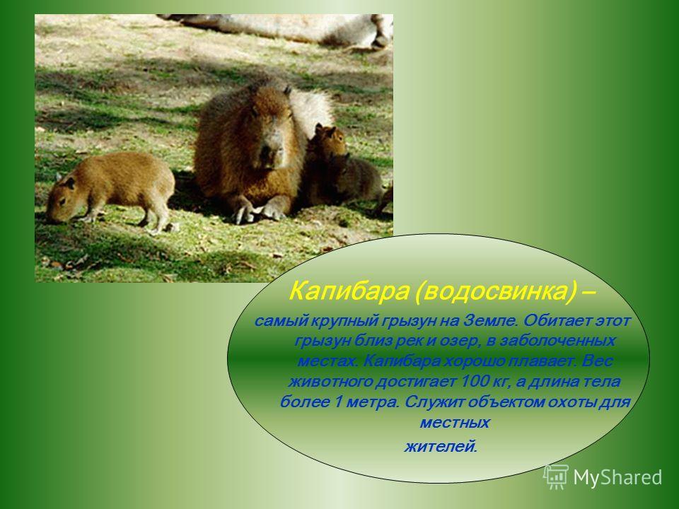 ЛЕНИВЕЦ – обитатель экваториального леса. Это медлительное животное висит, зацепившись цепкими когтями на ветвях, спиной вниз. Длина тела – 50-60 см. питается он листьями и плодами деревьев. Его желто - белая шерсть иногда бывает покрыта зелеными пят