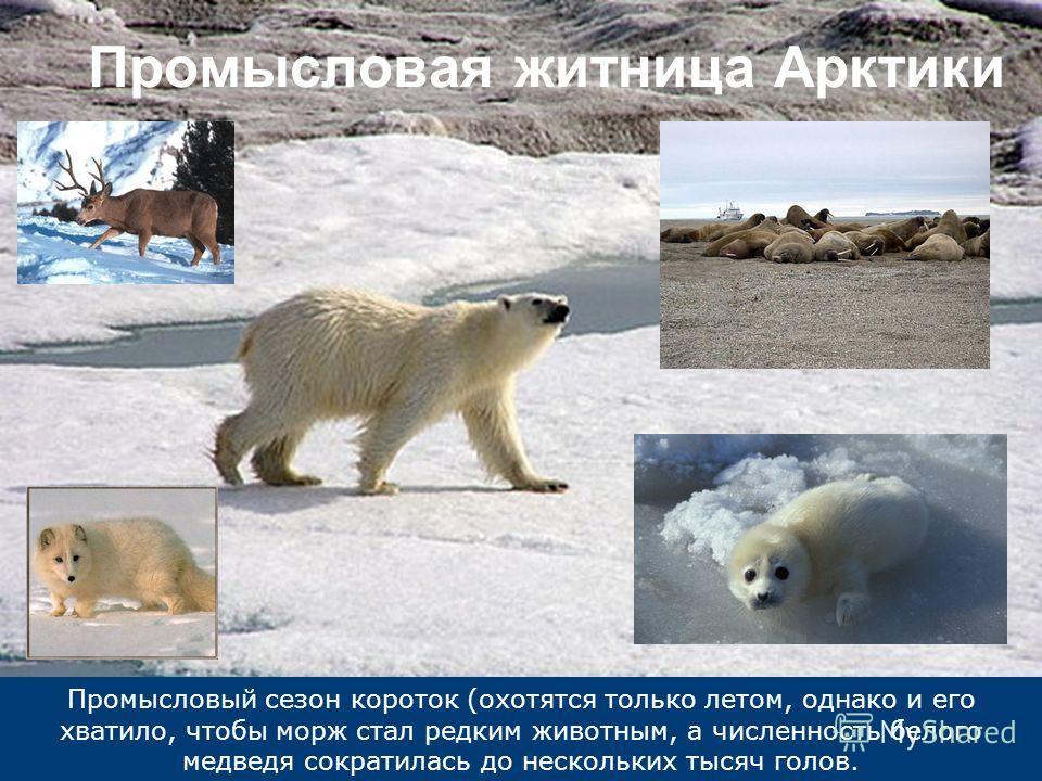 Промысловый сезон короток (охотятся только летом, однако и его хватило, чтобы морж стал редким животным, а численность белого медведя сократилась до нескольких тысяч голов. Промысловая житница Арктики