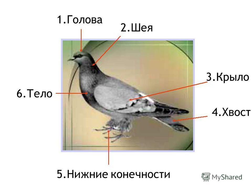 1. Голова 2. Шея 3. Крыло 4. Хвост 6. Тело 5. Нижние конечности