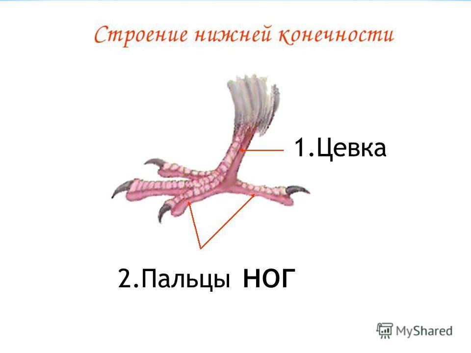 1. Цевка 2. Пальцы ног