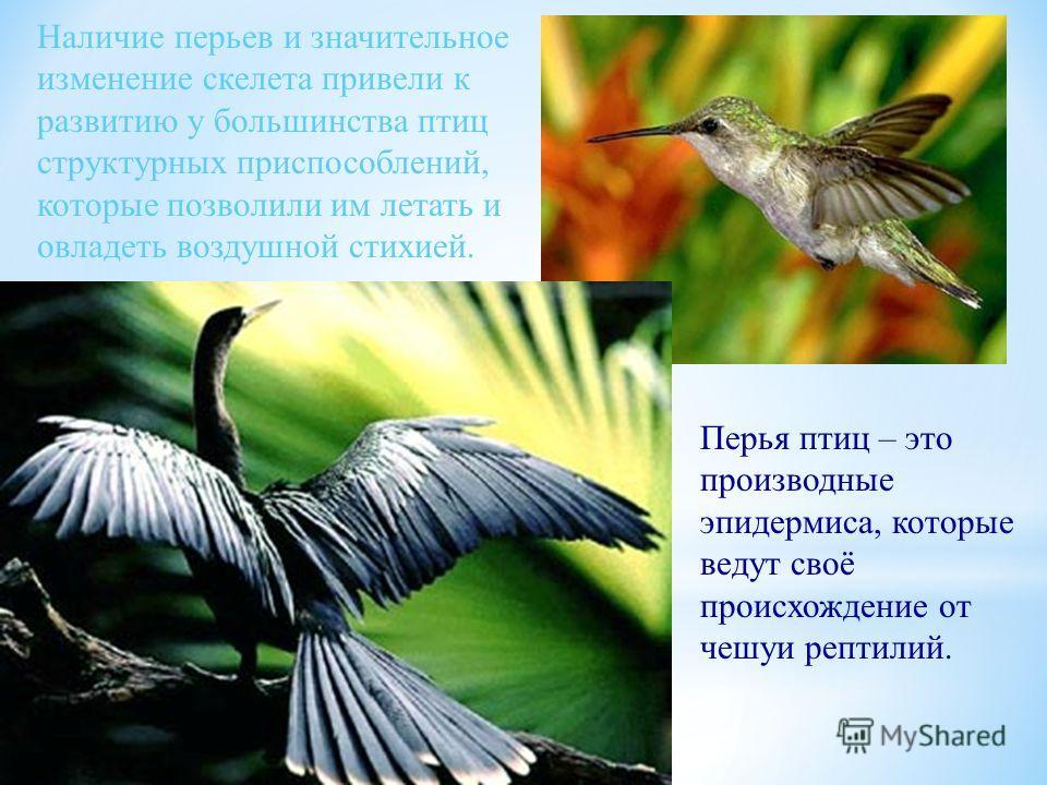 Наличие перьев и значительное изменение скелета привели к развитию у большинства птиц структурных приспособлений, которые позволили им летать и овладеть воздушной стихией. Перья птиц – это производные эпидермиса, которые ведут своё происхождение от ч