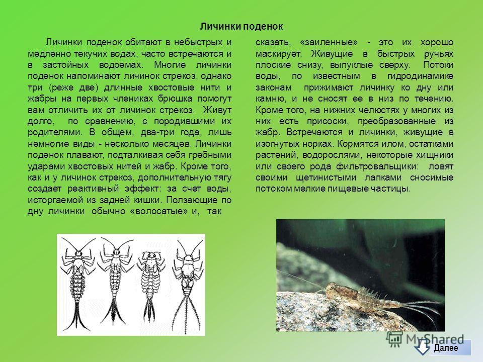 Личинки поденок Личинки поденок обитают в небыстрых и медленно текучих водах, часто встречаются и в застойных водоемах. Многие личинки поденок напоминают личинок стрекоз, однако три (реже две) длинные хвостовые нити и жабры на первых члениках брюшка
