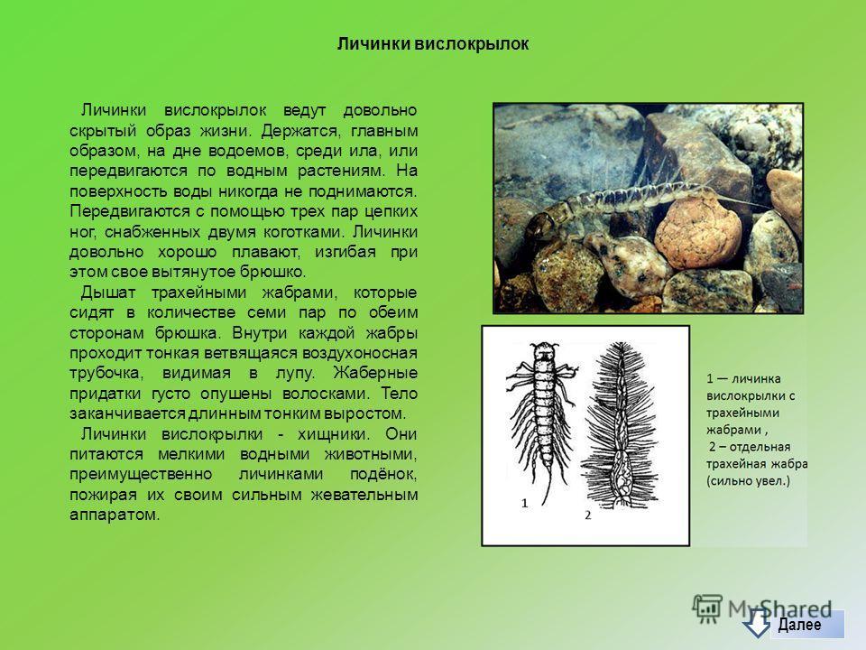 Личинки вислокрылок Личинки вислокрылок ведут довольно скрытый образ жизни. Держатся, главным образом, на дне водоемов, среди ила, или передвигаются по водным растениям. На поверхность воды никогда не поднимаются. Передвигаются с помощью трех пар цеп