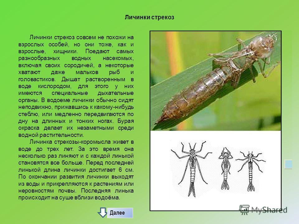 Личинки стрекоз Личинки стрекоз совсем не похожи на взрослых особей, но они тоже, как и взрослые, хищники. Поедают самых разнообразных водных насекомых, включая своих сородичей, а некоторые хватают даже мальков рыб и головастиков. Дышат растворенным