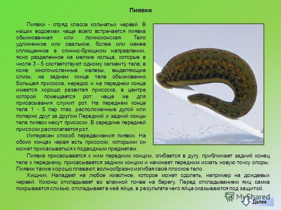 Пиявки Пиявки - отряд класса кольчатых червей. В наших водоемах чаще всего встречается пиявка обыкновенная или ложноконская. Тело удлиненное или овальное, более или менее сплющенное в спинно-брюшном направлении, ясно разделенное на мелкие кольца, кот