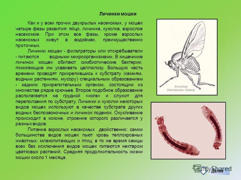 Личинки мошки Как и у всех прочих двукрылых насекомых, у мошек четыре фазы развития: яйцо, личинка, куколка, взрослое насекомое. При этом все фазы, кроме взрослых насекомых живут в водоёмах, преимущественно проточных. Личинки мошек - фильтраторы или