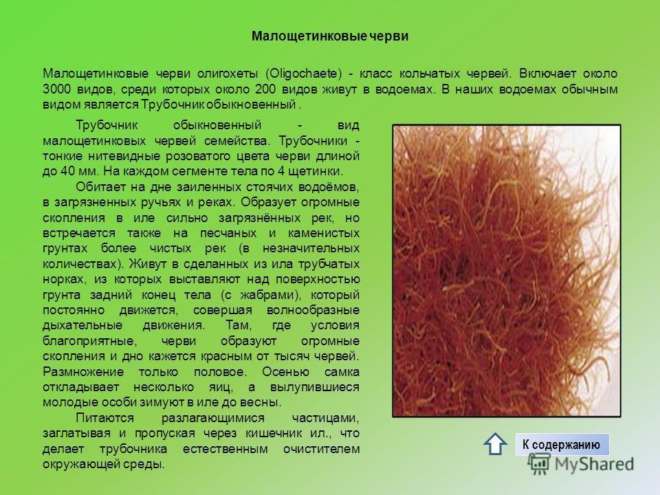 Малощетинковые черви Малощетинковые черви олигохеты (Oligochaete) - класс кольчатых червей. Включает около 3000 видов, среди которых около 200 видов живут в водоемах. В наших водоемах обычным видом является Трубочник обыкновенный. Трубочник обыкновен