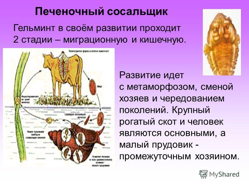 Развитие идет с метаморфозом, сменой хозяев и чередованием поколений. Крупный рогатый скот и человек являются основными, а малый прудовик - промежуточным хозяином. Гельминт в своём развитии проходит 2 стадии – миграционную и кишечную. Печеночный соса