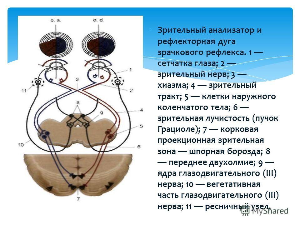 Зрительный анализатор и рефлекторная дуга зрачкового рефлекса. 1 сетчатка глаза; 2 зрительный нерв; 3 хиазма; 4 зрительный тракт; 5 клетки наружного коленчатого тела; 6 зрительная лучистость (пучок Грациоле); 7 корковая проекционная зрительная зона ш