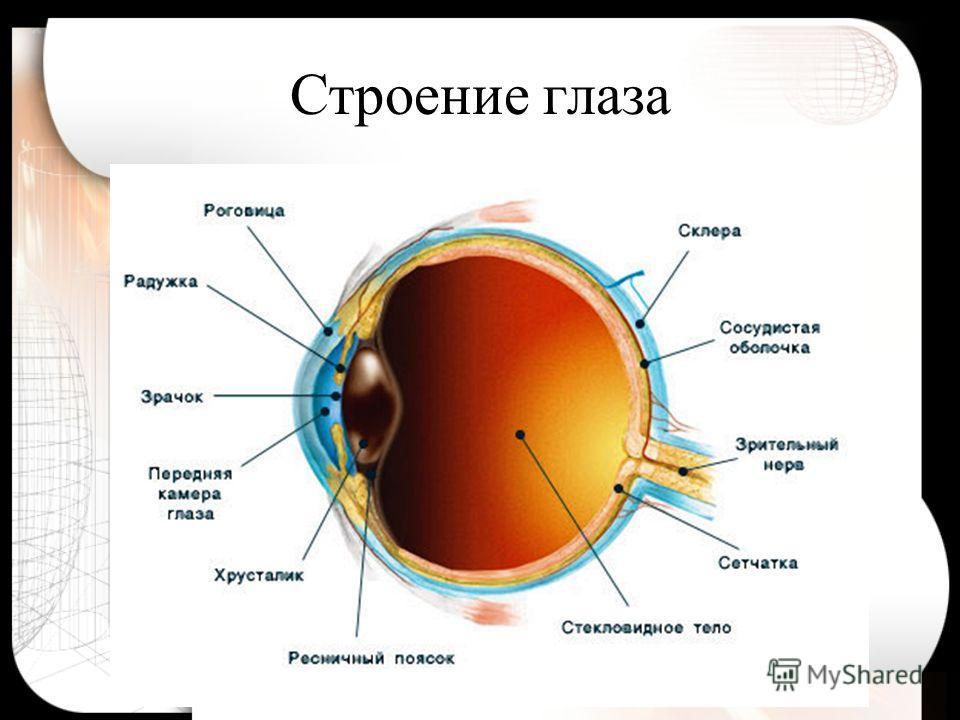 Основные функции глаза: оптическая система, проецирующая изображение; система, воспринимающая и «кодирующая» полученную информацию для головного мозга; «обслуживающая» система жизнеобеспечения.