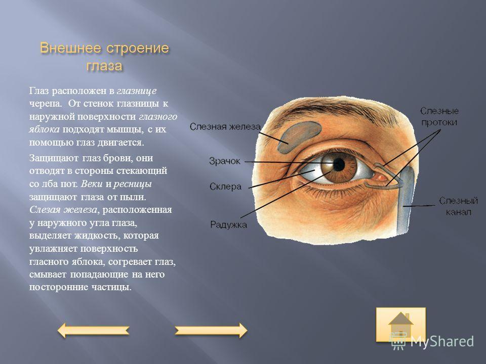 Внешнее строение глаза Глаз расположен в глазнице черепа. От стенок глазницы к наружной поверхности глазного яблока подходят мышцы, с их помощью глаз двигается. Защищают глаз брови, они отводят в стороны стекающий со лба пот. Веки и ресницы защищают