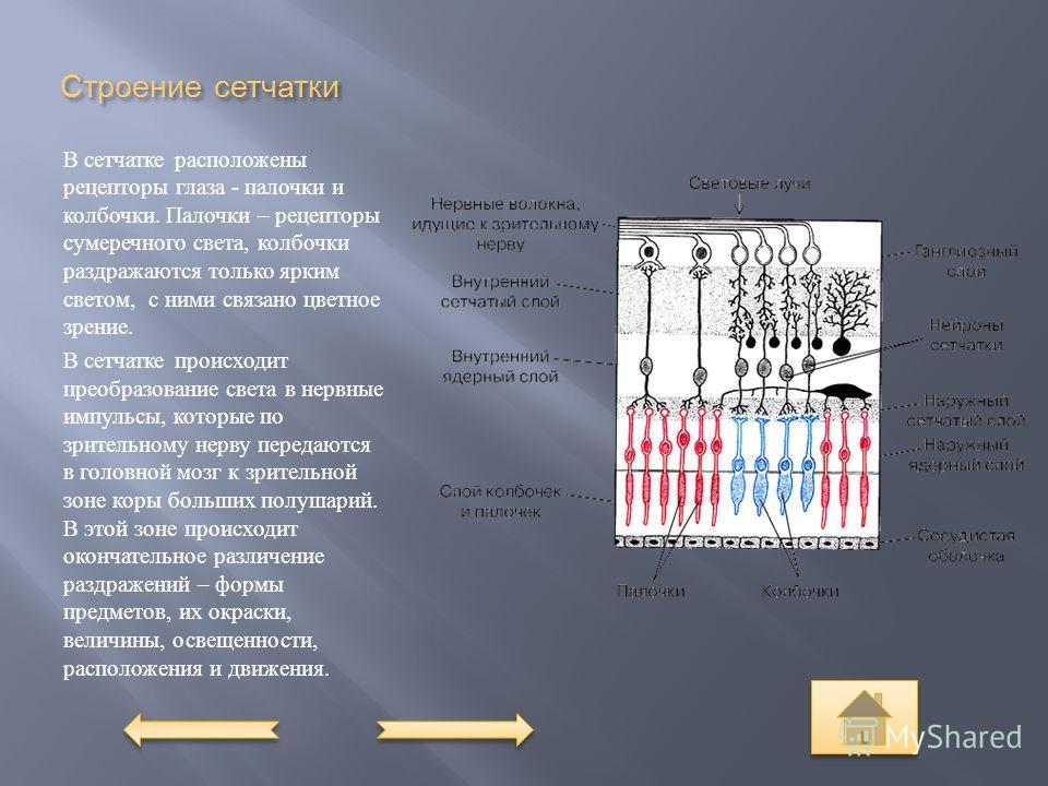 Строение сетчатки В сетчатке расположены рецепторы глаза - палочки и колбочки. Палочки – рецепторы сумеречного света, колбочки раздражаются только ярким светом, с ними связано цветное зрение. В сетчатке происходит преобразование света в нервные импул