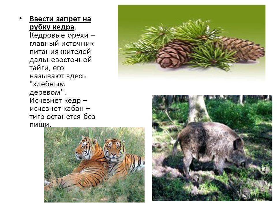 Ввести запрет на рубку кедра. Кедровые орехи – главный источник питания жителей дальневосточной тайги, его называют здесь хлебным деревом. Исчезнет кедр – исчезнет кабан – тигр останется без пищи.
