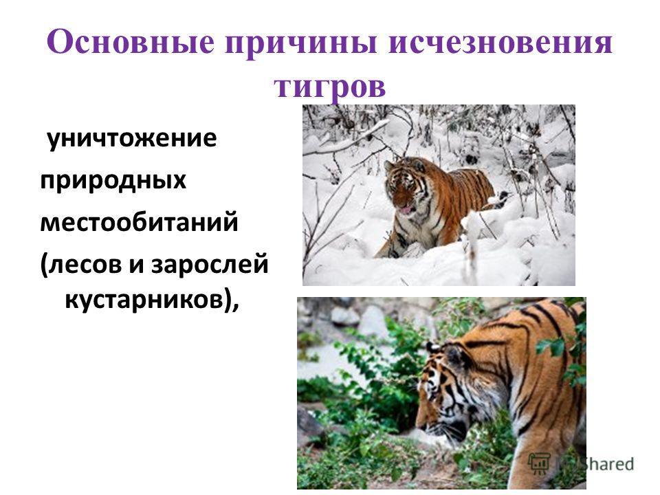 Основные причины исчезновения тигров уничтожение природных местообитаний (лесов и зарослей кустарников),