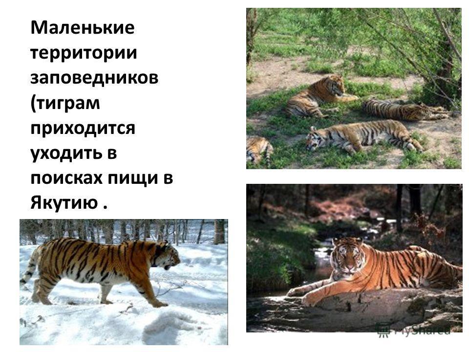 Маленькие территории заповедников (тиграм приходится уходить в поисках пищи в Якутию.