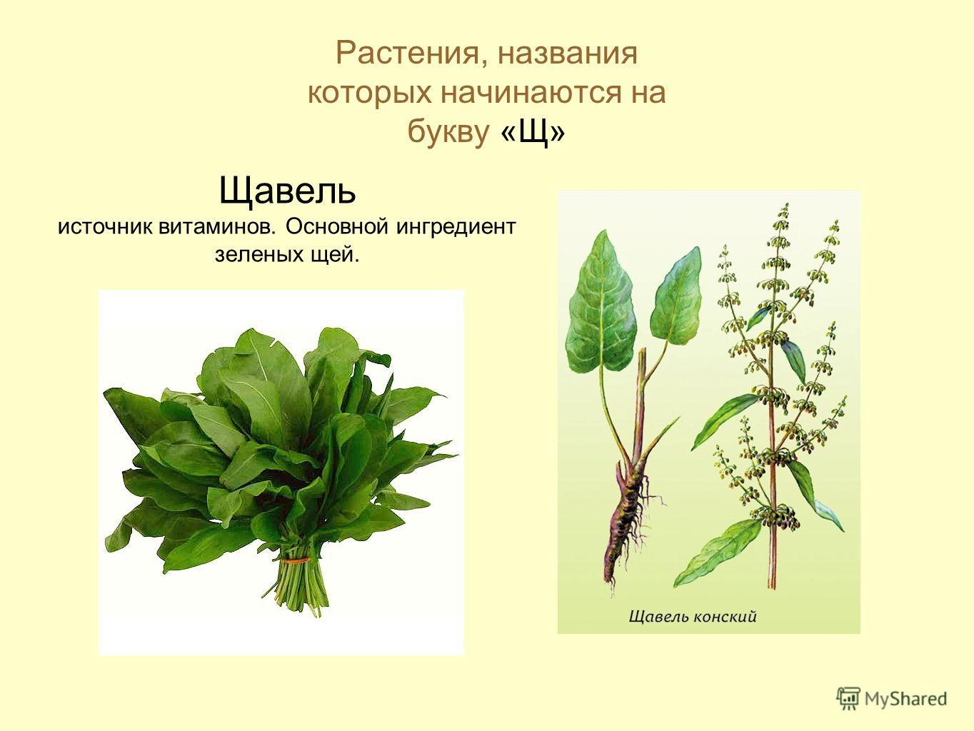 Растения, названия которых начинаются на букву «Щ» Щавель источник витаминов. Основной ингредиент зеленых щей.