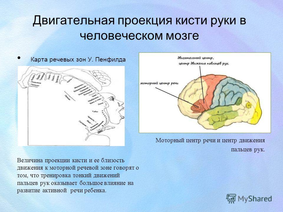 Двигательная проекция кисти руки в человеческом мозге Карта речевых зон У. Пенфилда Величина проекции кисти и ее близость движения к моторной речевой зоне говорят о том, что тренировка тонкий движений пальцев рук оказывает большое влияние на развитие
