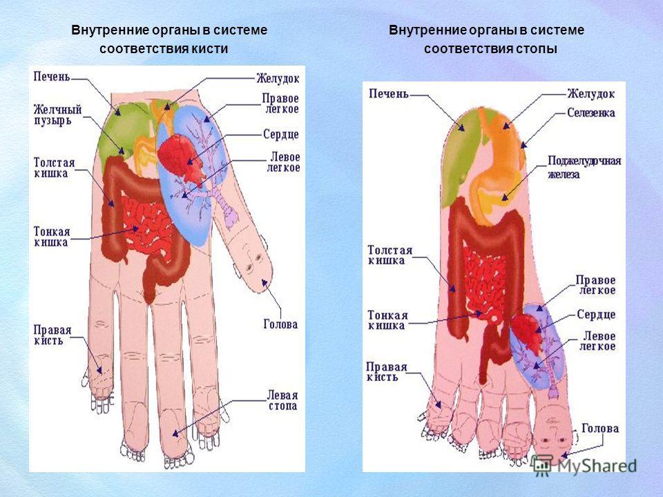 Внутренние органы в системе соответствия кисти Внутренние органы в системе соответствия стопы
