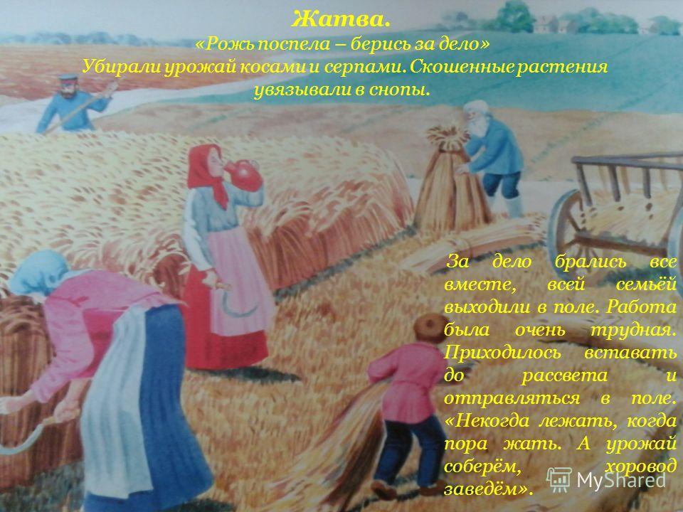 Жатва. «Рожь поспела – берись за дело» Убирали урожай косами и серпами. Скошенные растения увязывали в снопы. За дело брались все вместе, всей семьёй выходили в поле. Работа была очень трудная. Приходилось вставать до рассвета и отправляться в поле.