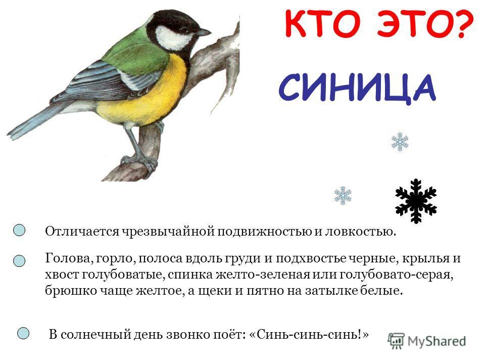 СИНИЦА Отличается чрезвычайной подвижностью и ловкостью. Голова, горло, полоса вдоль груди и подхвостье черные, крылья и хвост голубоватые, спинка желто-зеленая или голубовато-серая, брюшко чаще желтое, а щеки и пятно на затылке белые. В солнечный де