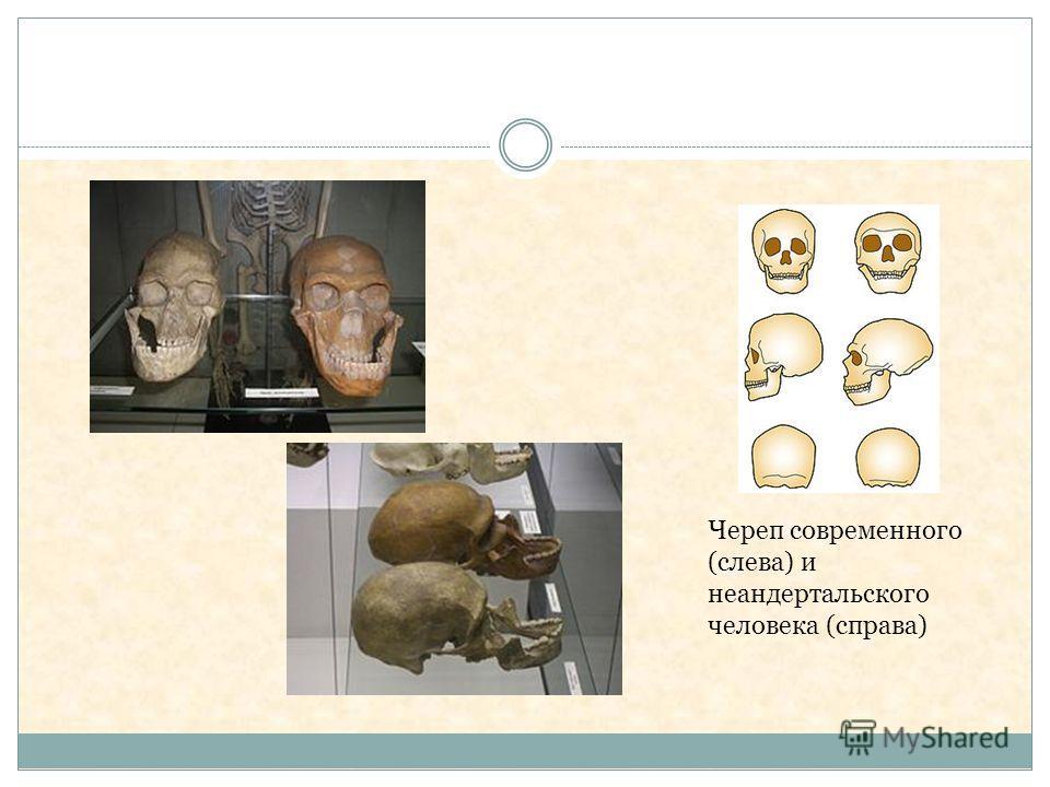 Череп современного (слева) и неандертальского человека (справа)