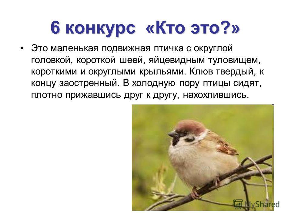 6 конкурс «Кто это?» Это маленькая подвижная птичка с округлой головкой, короткой шеей, яйцевидным туловищем, короткими и округлыми крыльями. Клюв твердый, к концу заостренный. В холодную пору птицы сидят, плотно прижавшись друг к другу, нахохлившись