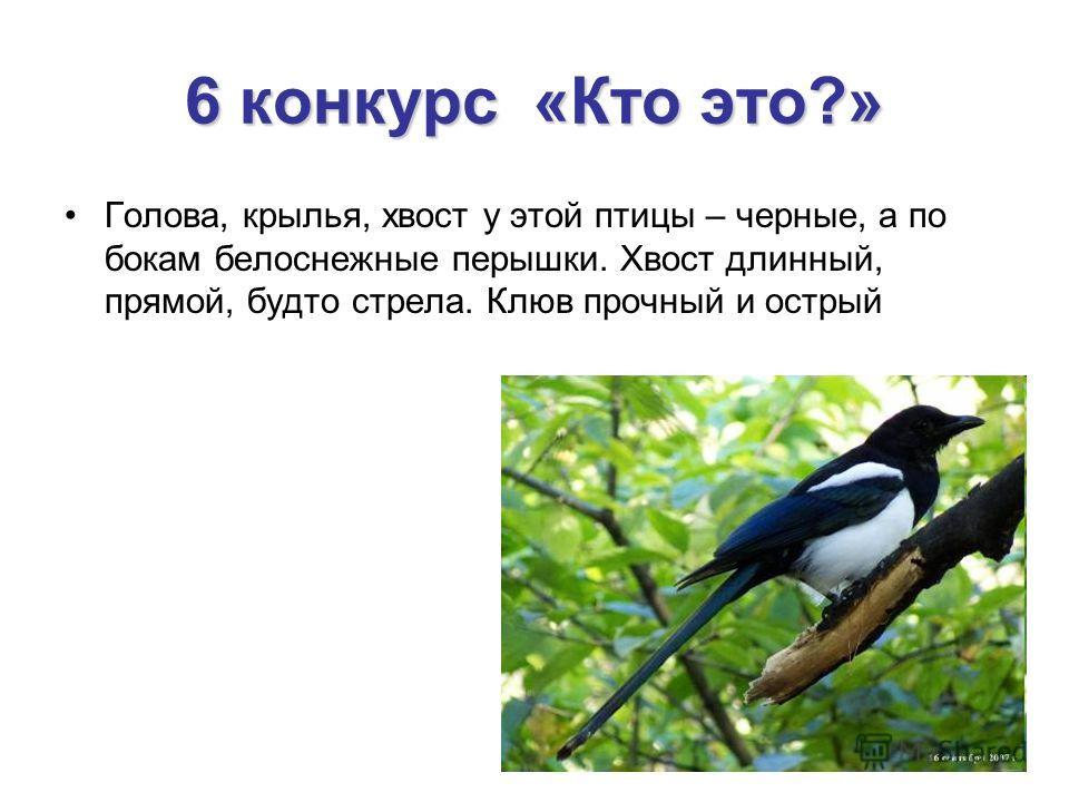 6 конкурс «Кто это?» Голова, крылья, хвост у этой птицы – черные, а по бокам белоснежные перышки. Хвост длинный, прямой, будто стрела. Клюв прочный и острый