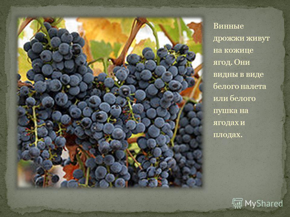 Винные дрожжи живут на кожице ягод. Они видны в виде белого налета или белого пушка на ягодах и плодах.
