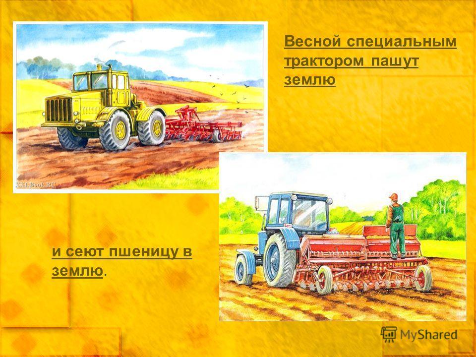 и сеют пшеницу в землюи сеют пшеницу в землю. Весной специальным трактором пашут землю