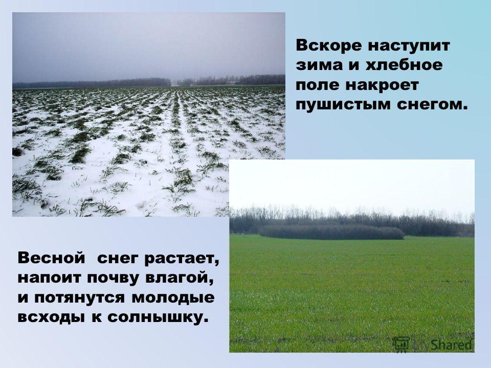 Вскоре наступит зима и хлебное поле накроет пушистым снегом. Весной снег растает, напоит почву влагой, и потянутся молодые всходы к солнышку.