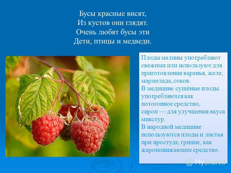 Бусы красные висят, Из кустов они глядят. Очень любят бусы эти Дети, птицы и медведи. Плоды малины употребляют свежими или используют для приготовления варенья, желе, мармелада, соков. В медицине сушёные плоды употребляются как потогонное средство, с