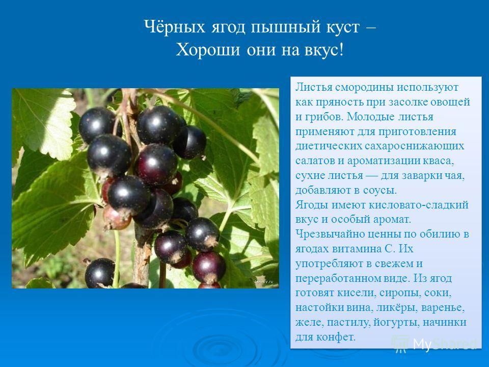 Чёрных ягод пышный куст – Хороши они на вкус! Листья смородины используют как пряность при засолке овощей и грибов. Молодые листья применяют для приготовления диетических сахароснижающих салатов и ароматизации кваса, сухие листья для заварки чая, доб