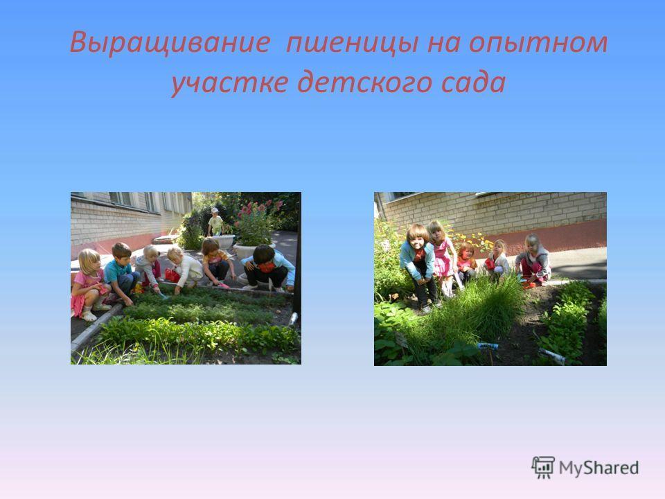 Выращивание пшеницы на опытном участке детского сада